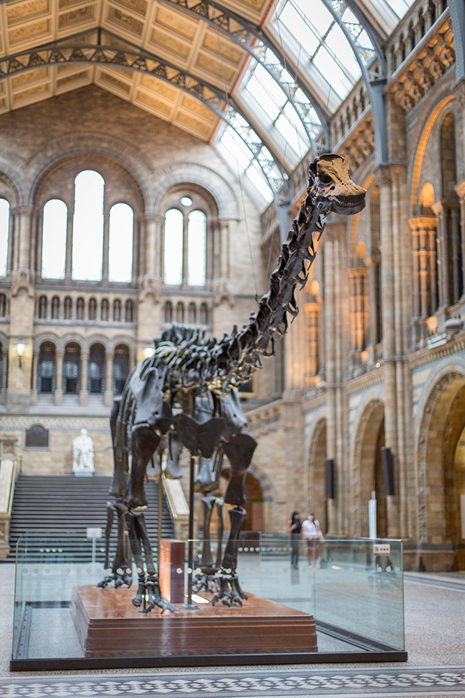 Dippy in situ at the Natural History Museum in London.